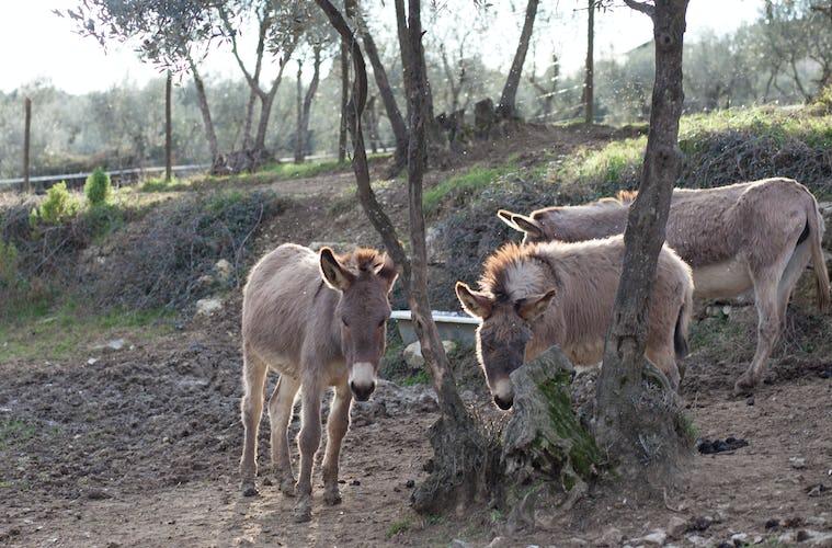 Fattoria di Maiano: gli animali della fattoria, che potrai accarezzare e vedere da vicino