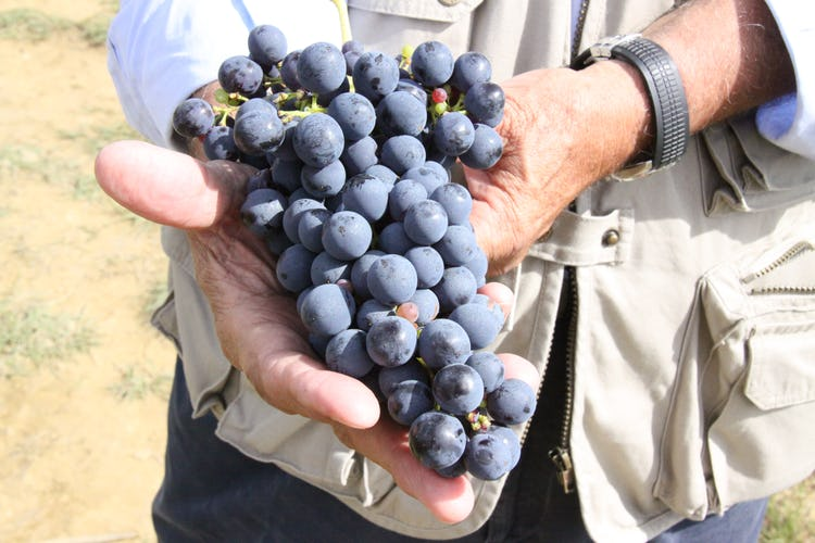 Fattoria Pagnana: grapes in Tuscany